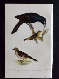 Alexander Wilson 1877 Bird Print. Female Crow Blacknird, Orange-Crowned Wabler